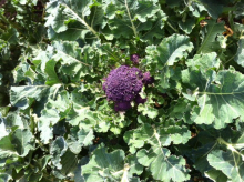 Organic Local Produce Purple Sprouting Brocolli